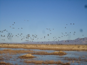 The cranes will feed and loaf in Cochise County until midwinter, when they will begin their migrations. Some will travel as far as Siberia.  These aren't the cranes that pass over my house in the Sierra, Tom says.  Those sandhills winter in California's central valley.
